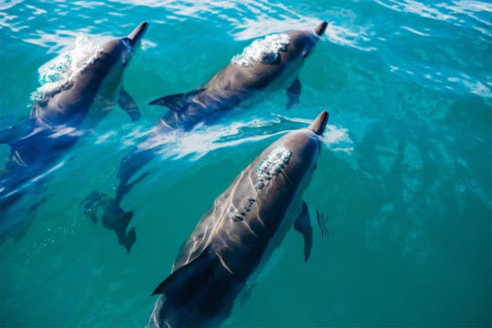 Maldives Dolphins